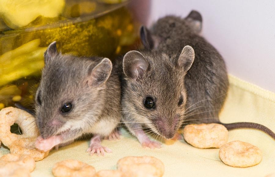 mice eating food